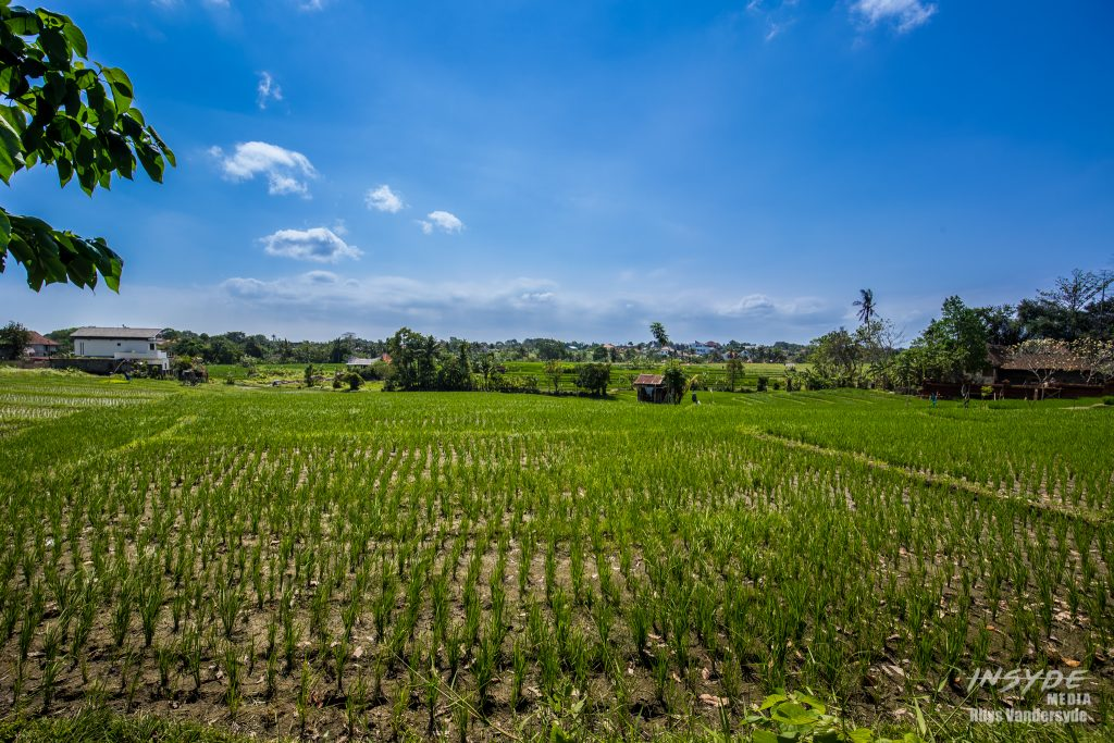 Rice paddies of Canggu