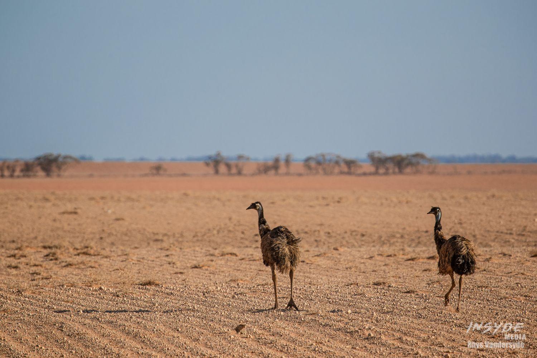 Emu's roaming the Hay Plain
